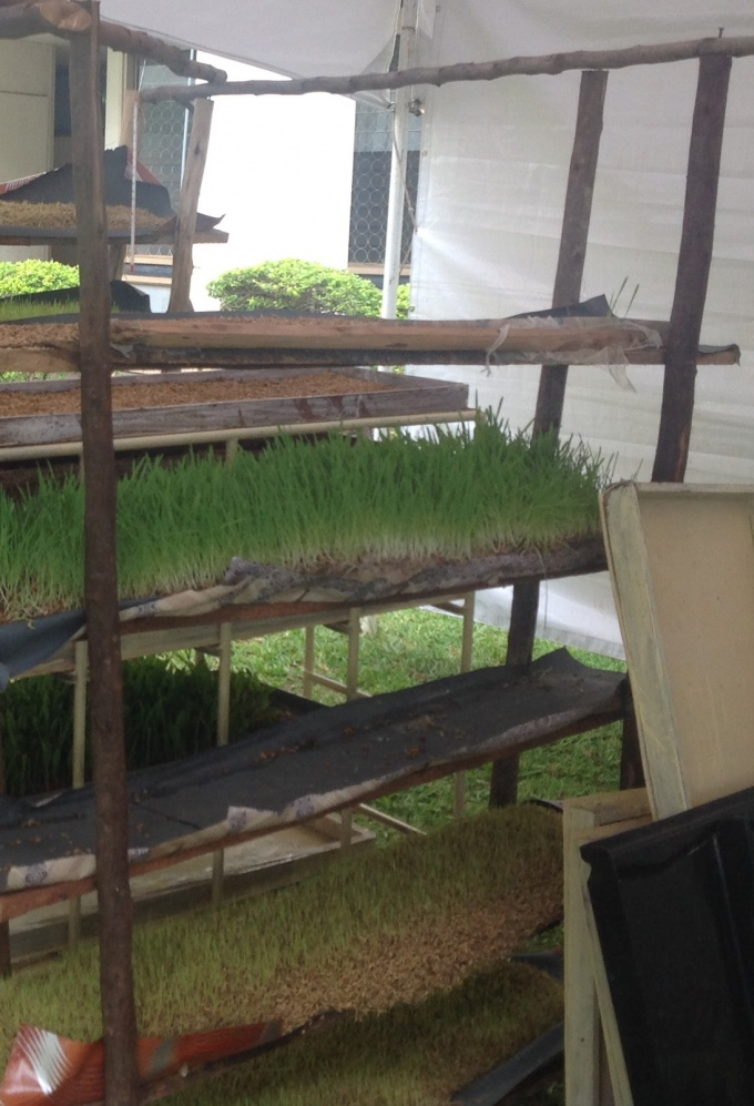 Layers of Hydroponic Fodder ready for animal consumption in 6 days